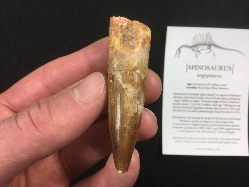 Spinosaurus Tooth - 2.44 inch #SP36
