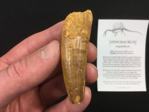 Spinosaurus Tooth - 2.31 inch #SP37