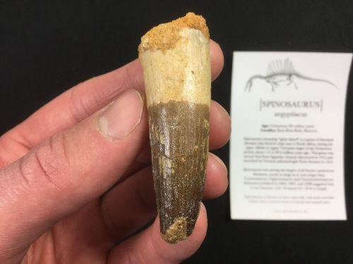 Spinosaurus Tooth - 2.31 inch #SP38