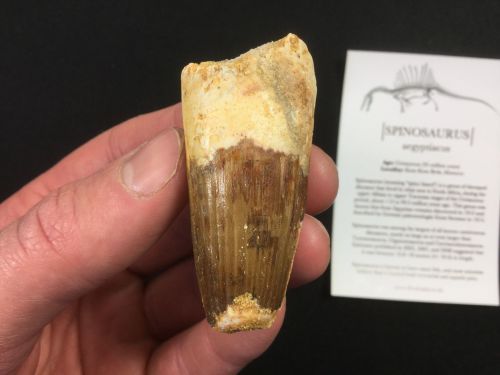 Spinosaurus Tooth - 2.25 inch #SP40