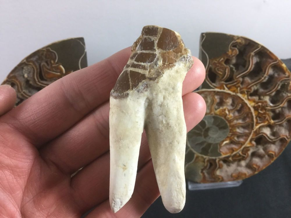 Pappocetus lugardi Early Whale (protocetid) Tooth #01