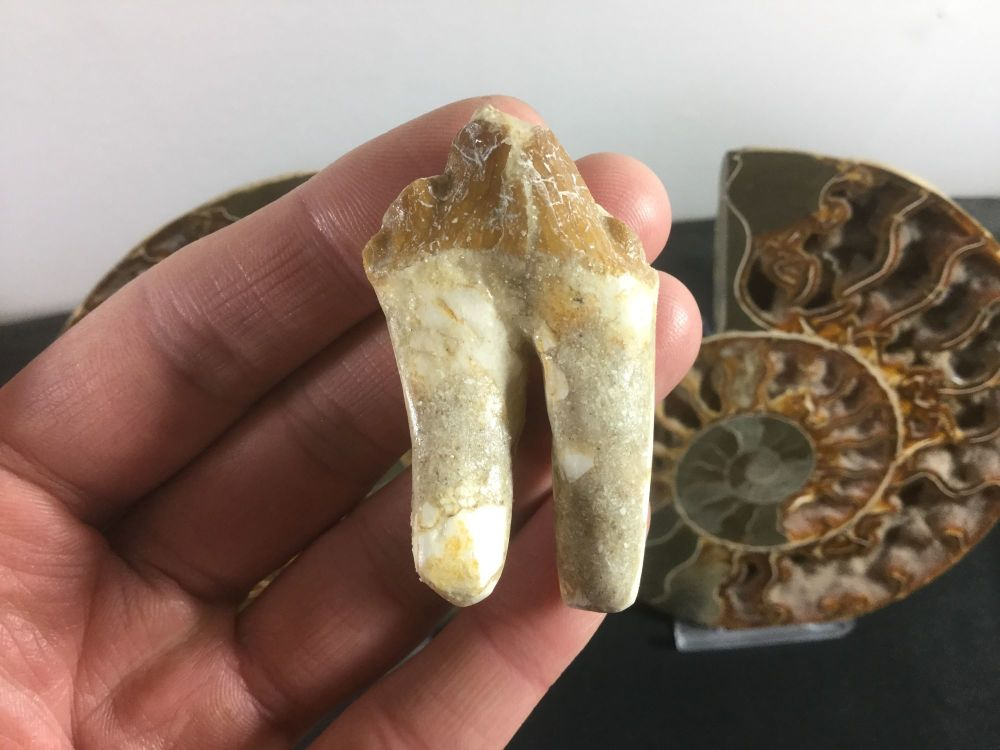 Pappocetus lugardi Early Whale (protocetid) Tooth #02