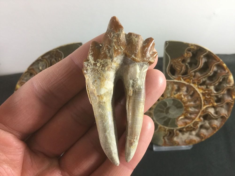 Pappocetus lugardi Primitive Whale (protocetid) Tooth #03