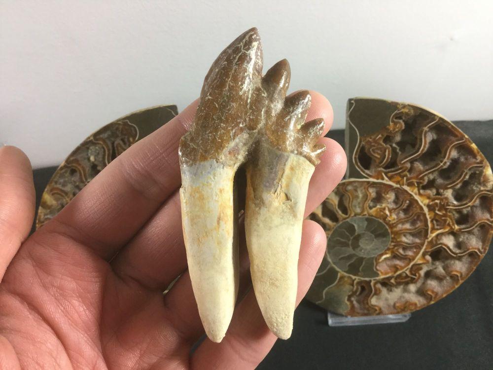 Pappocetus lugardi Primitive Whale (protocetid) Tooth #04