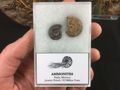 Ammonite Set #01
