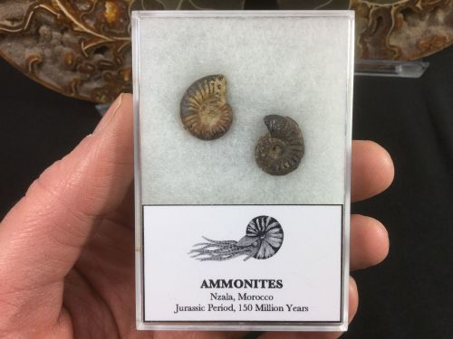 Ammonite Set #02