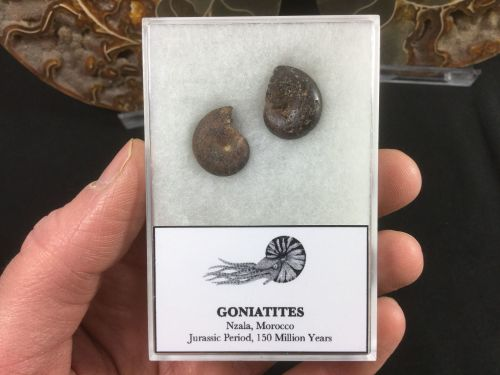 Gonaitite Set #01