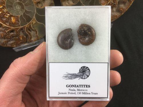 Gonaitite Set #02