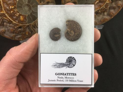 Gonaitite Set #03