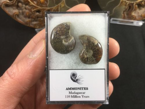 Ammonite Set #03