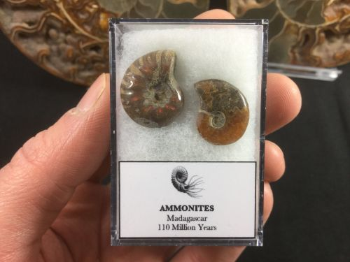 Ammonite Set #04