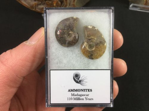 Ammonite Set #06