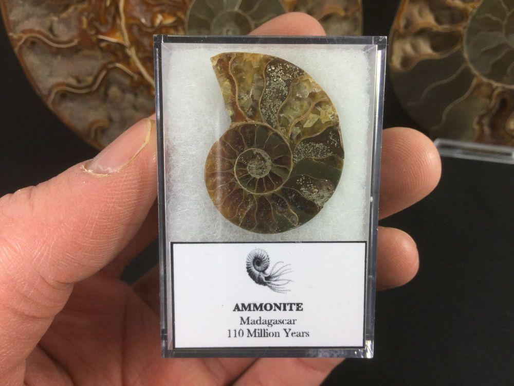 Ammonite #01