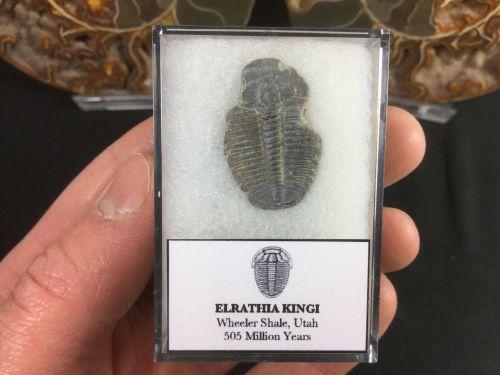 Elrathia kingi Trilobite #03