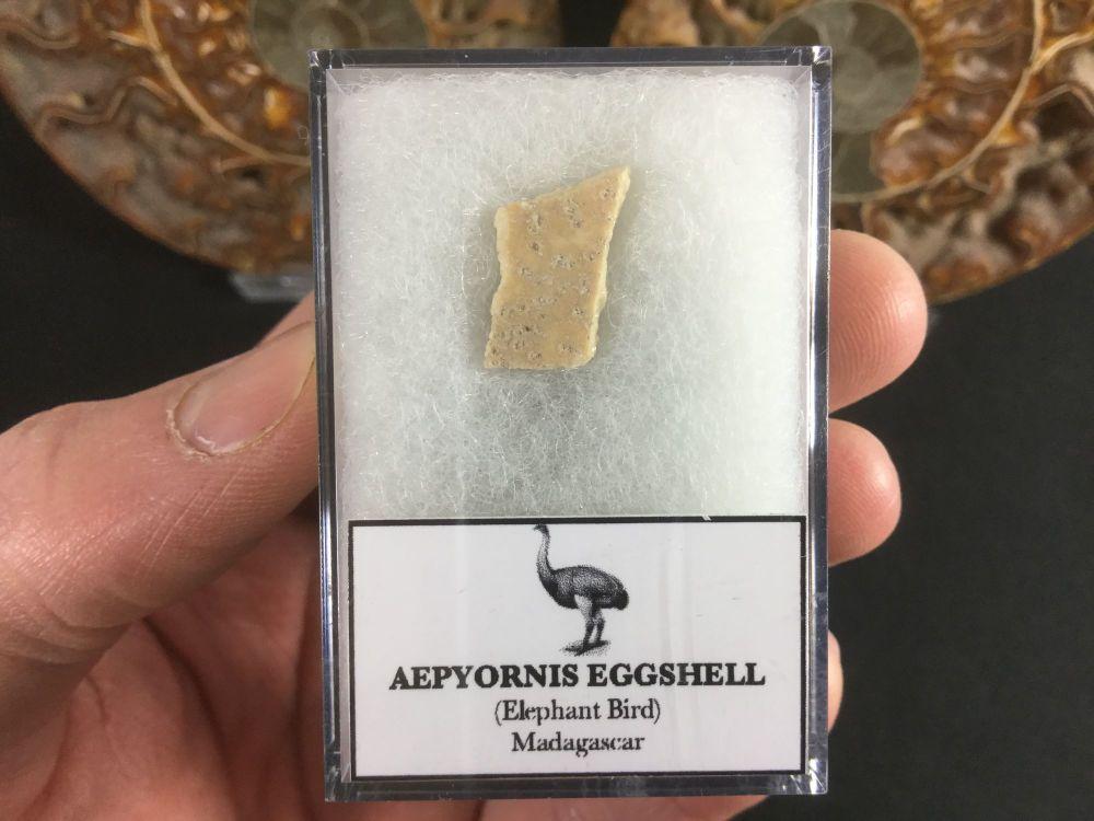 Aepyornis Eggshell #02