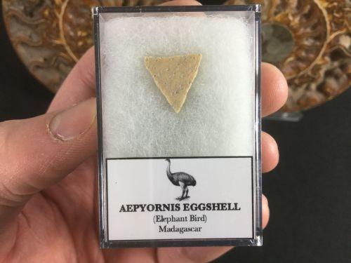 Aepyornis Eggshell #03