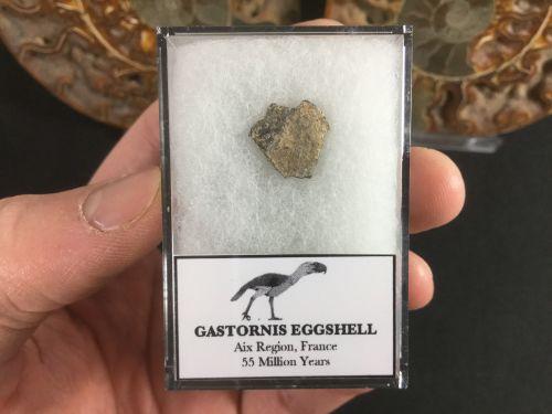 Gastornis Eggshell #01