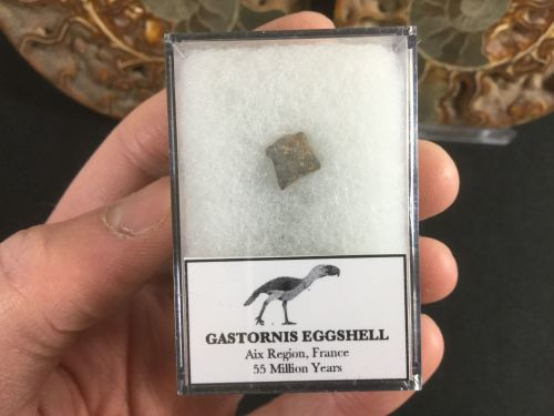 Gastornis Eggshell #03