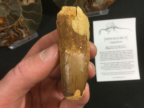 Spinosaurus Tooth - 2.56 inch #SP39