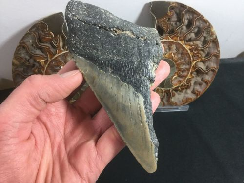 Megalodon Tooth - 5.31 inch #L13