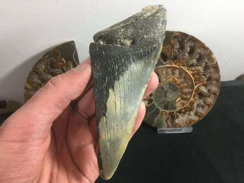 Megalodon Tooth - 5.13 inch #L12
