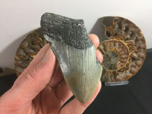 Megalodon Tooth - 3.69 inch #L06