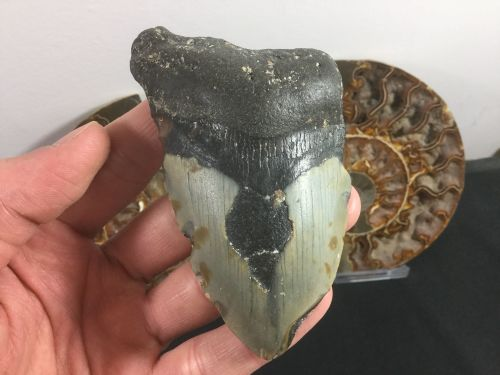 Megalodon Tooth - 3.75 inch #L07