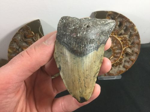 Megalodon Tooth - 3.13 inch #L05