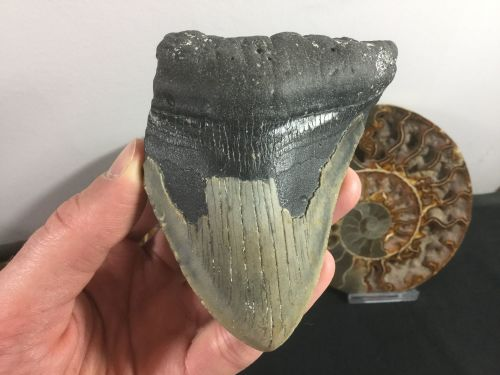 Megalodon Tooth - 4 inch #L08
