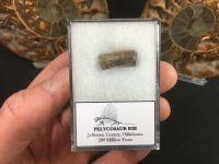 Pelycosaur Rib Section #05