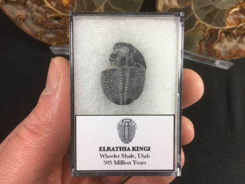 Elrathia kingi Trilobite #02