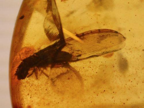 Burmite Amber with Insect & Coprolite Inclusion #BUR20