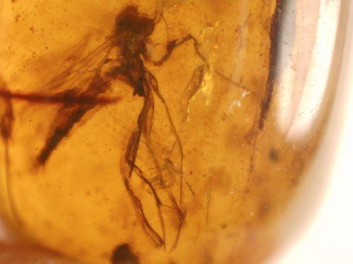 Burmite Amber with Fungus Gnat Inclusions #BUR22