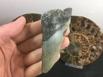 Megalodon Tooth - 3.69 inch #L02