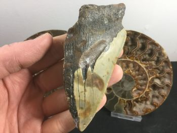 Megalodon Tooth - 4.31 inch #L03