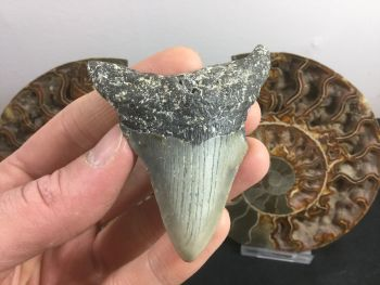 Megalodon Tooth - 3.06 inch #L04