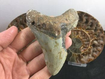 Megalodon Tooth - 3.81 inch #L05