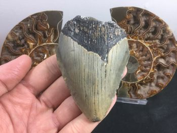 Megalodon Tooth - 3.13 inch #L06