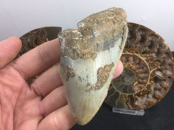 Megalodon Tooth - 4 inch #L07