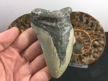 Megalodon Tooth - 3.75 inch #L08