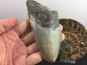 Megalodon Tooth - 5.06 inch #L10