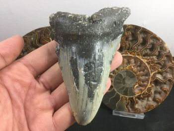 Megalodon Tooth - 4.38 inch #L11
