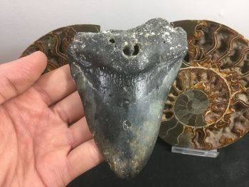 Megalodon Tooth - 4.62 inch #L12