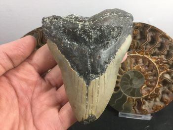 Megalodon Tooth - 4.56 inch #L14