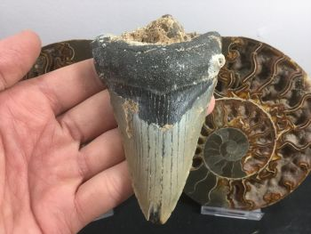 Megalodon Tooth - 3.94 inch #L15