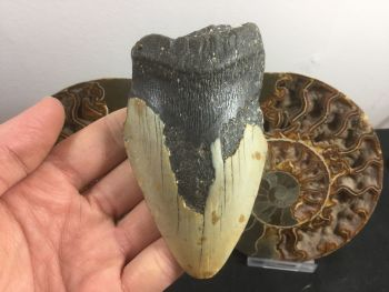 Megalodon Tooth - 4 inch #L16