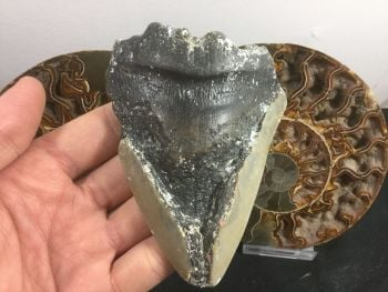 Megalodon Tooth - 4 inch #L17