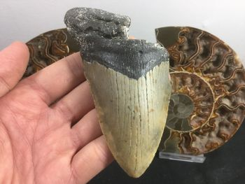 Megalodon Tooth - 4.75 inch #L18