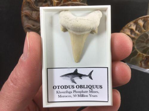 Otodus obliquus Shark Tooth #OT01