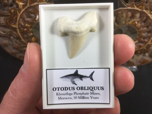 Otodus obliquus Shark Tooth #OT02